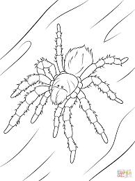 tarantula coloring page chilean rose tarantula coloring page free