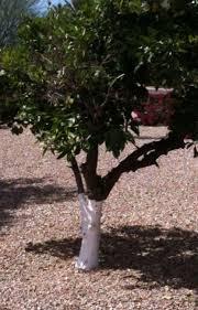 why do paint citrus tree trunks white arizona oddities
