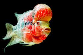 freshwater fish vibrant freshwater fish