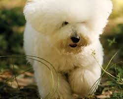 bichon frise jumping learn about the bichon frise dog breed from a trusted veterinarian