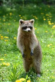 raccoon removal wildlife removal services of south florida