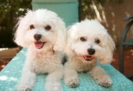 bichon frise long hair top ten u0027small breed u0027 dogs petmd
