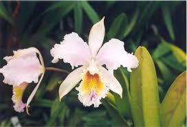cattleya orchids cattleya empress frederick x c mossiae 577 orchids cattleya