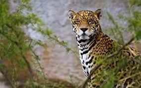jaguar animal wallpapers jaguar pictures u2013 images 1080p u2013 hd