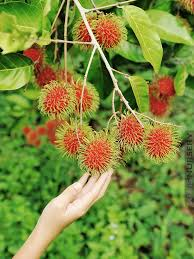 Tropical Fruit Tree Nursery - tropical rambutan fruit tree nephelium lappaceum u2013 kens nursery