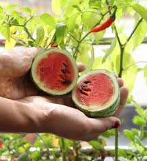 tried to grow watermelon as a potted plant look what i got