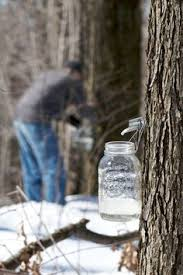 Backyard Sugaring Have A Maple Tree How To Tap A Maple Tree For Making Syrup Maple