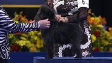 affenpinscher group 2016 national dog show affenpinscher toy group nbc sports