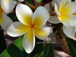 the tropical plumeria smell the flowers