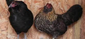 buy easter egger chickens easter egger bantam for sale purely poultry