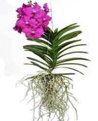 vanda orchid buy vanda orchid in chisinau moldova