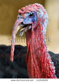 turkey up live turkey stock photo 141648481