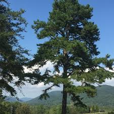 virginia pine trees for sale lowest prices save 80 buy