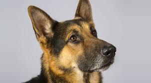 belgian shepherd vs husky german shepherd gsd dog breed information american kennel club