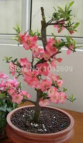 home bonsai flower seeds 25pcs sementes bonsai cherry