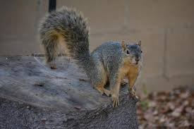 How To Hunt Squirrels In Your Backyard by Friend Or Pest Riverside Solves Squirrely Problem By Allowing