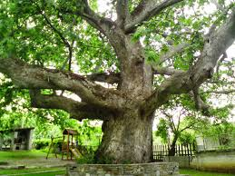 great plane tree hq pictures world s greatest site