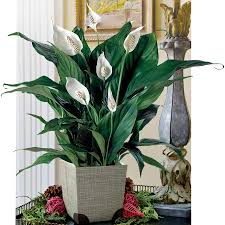 best low light house plants garden air purifying indoor plants white peace lily decorative