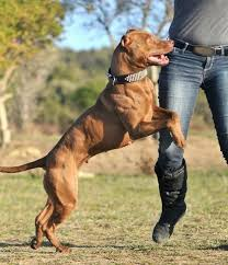 american pitbull terrier types american pitbull terrier breed history