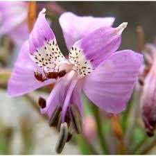 Alstroemeria Alstroemeria Revoluta Seeds Inca Lily Plant World Seeds