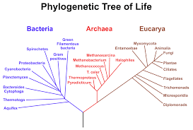 file phylogenetic tree scientific names svg wikimedia commons