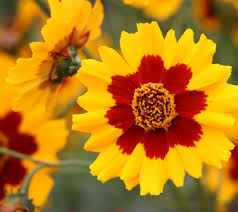 Long Blooming Annual Flowers - coreopsis tinctoria u201ccalliopsis u201d very long blooming annual is