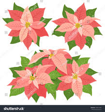 pink poinsettia flowers decorations on stock vector
