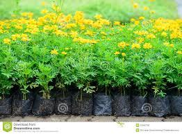 cosmos flower garden royalty free stock image image 32642736