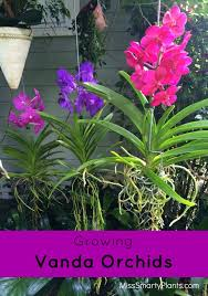vanda orchids with beautiful flowers these can easily be grown
