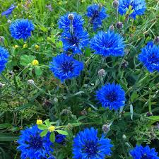 edible blue flowers 7 edible flowers you your veggie patch will the healthy patch