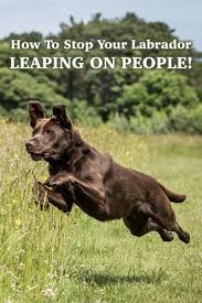 no more jumping up stop your labrador leaping on people