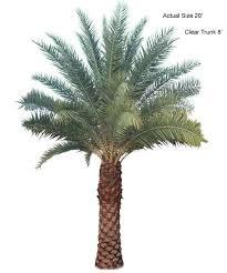 sylvester palm tree sale sylvester date palm tree sylvestris large sylvester date