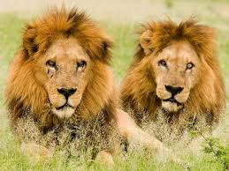 male lion wallpapers big cat pictures big cat wallpapers national geographic cat