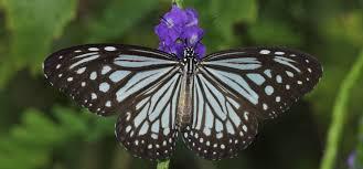 glassy tiger sri lanka butterfly catalog