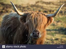 highland cattle scottish beef breed domestic animal beast cow bull