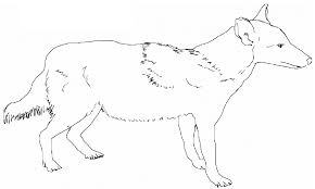 lovely coyote animal coloring pages free printable coyote coloring