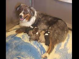 australian shepherd weight 9 weeks h and h aussies australian shepherd puppies for sale