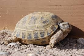 Tortoise Bedding Russian Tortoise Care Tips