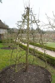 how to prune ornamental tree structures how to prune