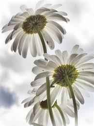 Daisy The Flower - 658 best daisy daisy images on pinterest flowers daisy flowers