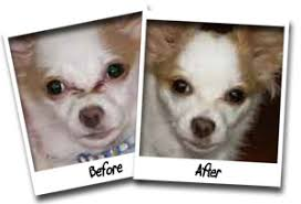 long hair chihuahua hair growth what to expect success stories angels eyes pet wipes dog tear stain remover