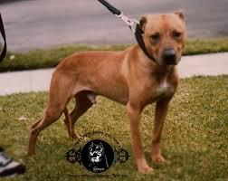 american pitbull terrier game bred bloodlines garner s