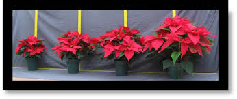 poinsettia u0027s height