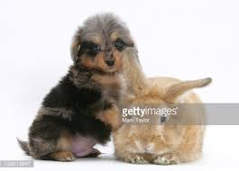 belgian sheepdog poodle mix a seven weekold shetland sheepdog and poodle mix puppy with a