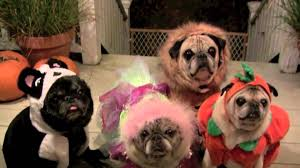 Scary Halloween Animals by Scary Halloween Pugs Youtube