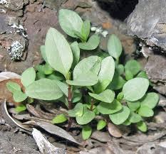 native plants to hawaii hawaiian native plants uh botany