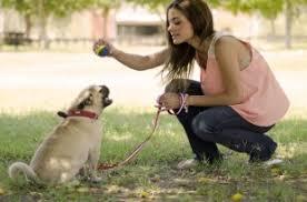 boxer dog training tips boxer dog training dogexpress