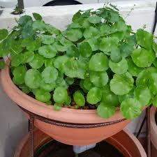 affnan s aquaponics ornamental regrow