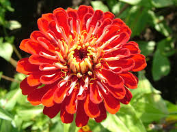 Flower Image Free 7art Flowers Clipart And Wallpapers Royalty Free Zinnia Red