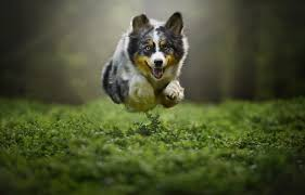 australian shepherd jumping dog flying animals pet plants jumping australian shepard